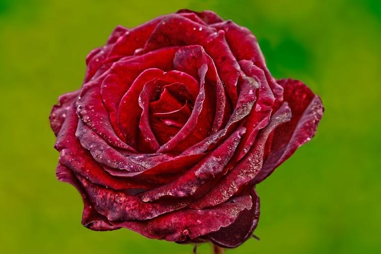 rose-695215_1280
