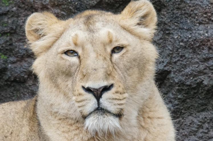 lioness-896599_1280